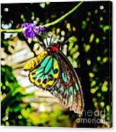 Cairns Birdwing Acrylic Print