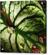 Caladium Leaf After Rain Acrylic Print
