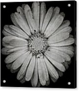 Calendula Flower - Textured Version Acrylic Print