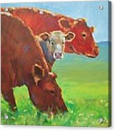 Calf And Cows Painting Acrylic Print