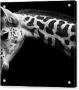 Calf Acrylic Print