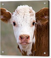 Calf Portrait Acrylic Print