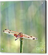 Calico Pennant From Above Acrylic Print