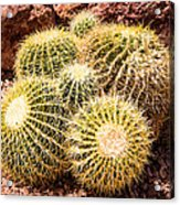 California Barrel Cactus Acrylic Print