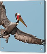 California Brown Pelican With Stretched Wings Acrylic Print