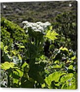California Coast Hillside Flower 5d22613 Acrylic Print by Wingsdomain Art and Photography