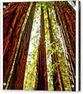 California Coastal Redwoods Acrylic Print by Artist and Photographer Laura Wrede