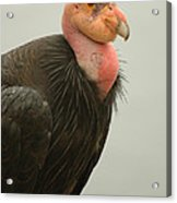 California Condor Big Sur Acrylic Print
