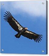 California Condor  Acrylic Print