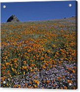 California Gold Poppies And Baby Blue Eyes Acrylic Print