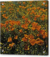 California Gold Poppies Acrylic Print