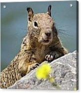 California Ground Squirrel Acrylic Print
