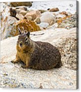 California Ground Squirrel With Sandy Nose Acrylic Print