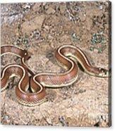 California Kingsnake Acrylic Print