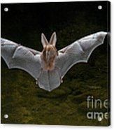 California Leaf-nosed Bat Acrylic Print