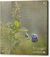 California Lilac Acrylic Print