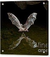 California Long-nosed Bat Flying Away Acrylic Print