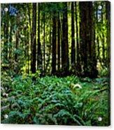 California - Muir Woods 007 Acrylic Print