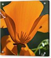 California Poppies  Eschscholzia Acrylic Print