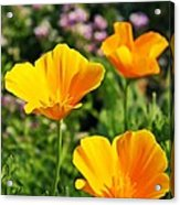 California Poppies In October Acrylic Print