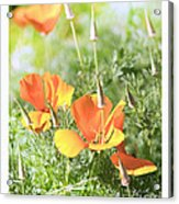 California Poppies Acrylic Print by Artist and Photographer Laura Wrede