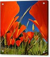 California Poppies Acrylic Print