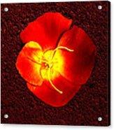California Poppy By Nadine Johnston Acrylic Print
