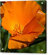 California Poppy Acrylic Print