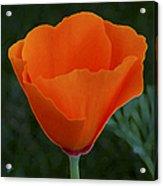 California Poppy Spectacular Acrylic Print