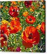 California Poppy's Acrylic Print