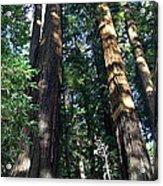 California Redwood Acrylic Print