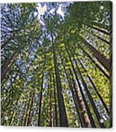 California Redwood Forest Acrylic Print by Brendan Reals