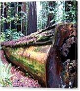 California Redwoods 2 Acrylic Print