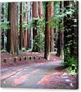 California Redwoods 3 Acrylic Print