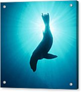 California Sea Lion  Channel Islands Np Acrylic Print