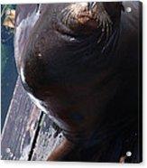 California Sea Lion Acrylic Print