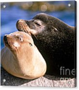 California Sea Lions Acrylic Print by Mark Newman