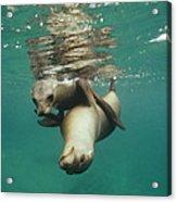 California Sea Lions Playing Sea Acrylic Print