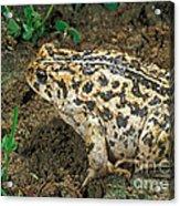 California Toad Bufo Boreas Halophilus Acrylic Print