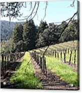 California Vineyards In Late Winter Just Before The Bloom 5d22053 Acrylic Print