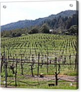 California Vineyards In Late Winter Just Before The Bloom 5d22088 Acrylic Print
