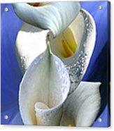 Calla Composition Acrylic Print