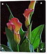 Calla Lilies 2  Acrylic Print