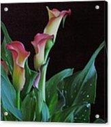 Calla Lilies 3 Acrylic Print