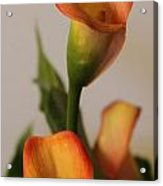 Calla Lilies Acrylic Print by Cathy Lindsey
