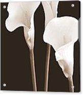 Calla Lilies In Triplicate In Sepia Acrylic Print