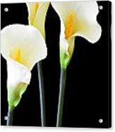 Calla Lilies In Triplicate Acrylic Print