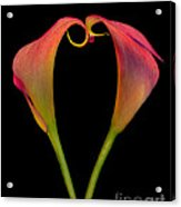 Calla Lillies Kissing Acrylic Print