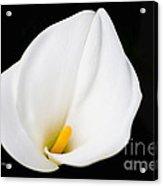 Calla Lily Flower Face Acrylic Print