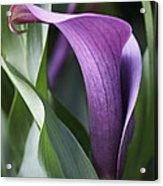 Calla Lily In Purple Ombre Acrylic Print